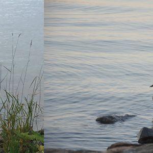 Bilder på sjöfågel i vatten