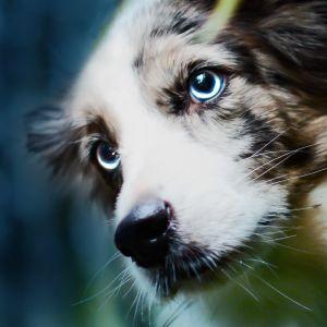 Koira tummaa taustaa vasten