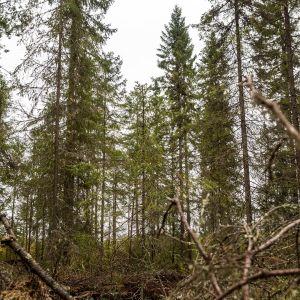 Metsä Oulussa