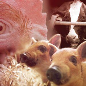 Kanan silmästä lähikuva, etualalla kaksi pientä porsasta ja taustalla lehmä navetassa