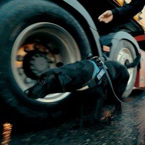 Heila sniffar efter vapen vid hjulet på en lastbil.