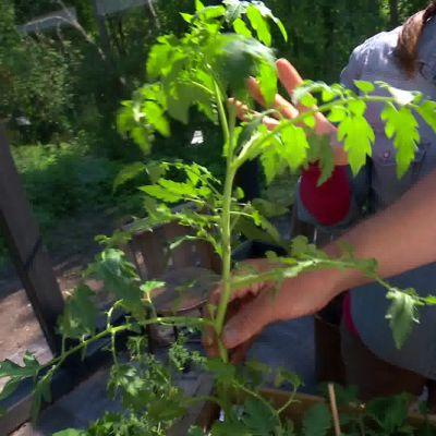Pärontomaten är en högre växande planta