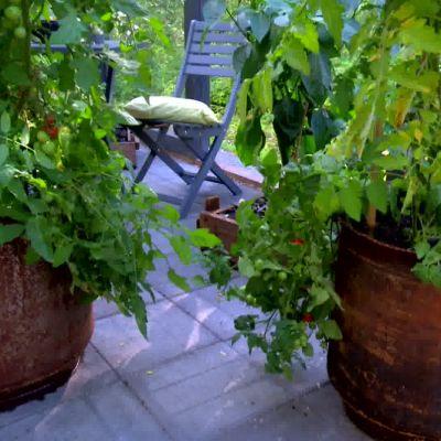 Tomatplantor i självbevattningskrukorna