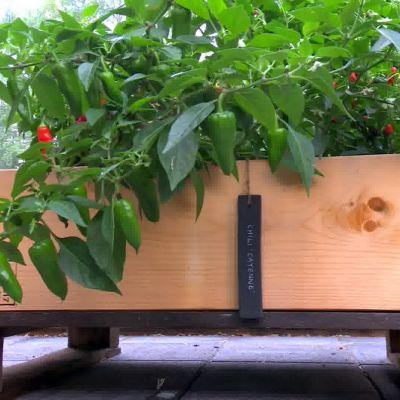 Chiliplantorna frodas i lastpallarna