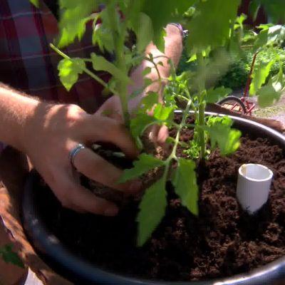 Den höga plommontomaten planterar Owe i mitten