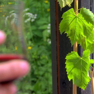 Odling av vinrankor