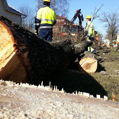 kaadettu puu etualalla, taustalla työmiehiä