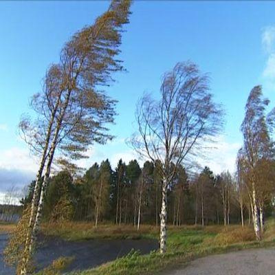 Valio-myrsky taivuttaa puita Keski-Suomessa.