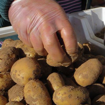 Perunoita laatikossa, kumihanskakädet nostelevat perunoita pussiin.