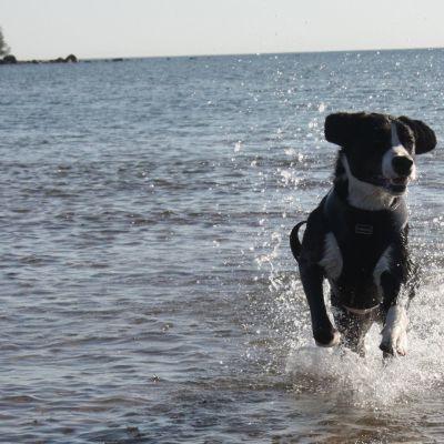 koira juoksee vedessä