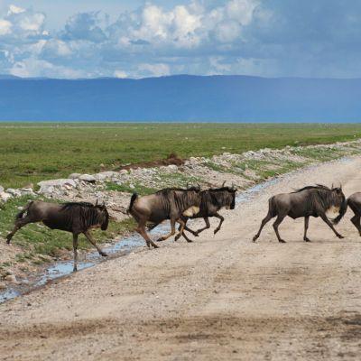 Yli miljoona gnuta vaeltaa vuosittain Serengetistä Masai Maraan ja takaisin. Nykyisin eläimet joutuvat väistelemään lähinnä safariimatkailijoiden autoja.