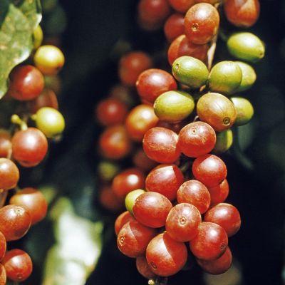 Kahvipapuja pensaassa.