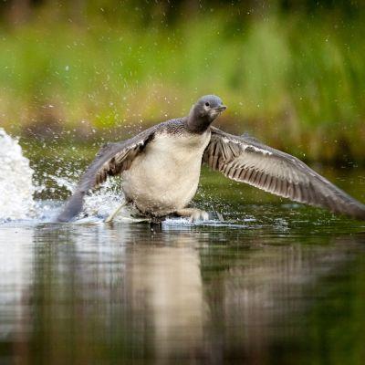 Kaakkurin poikanen on syönyt emon tuomaa ruokaa koko kesän. Viimeistään elokuussa se opettelee lentämään hankkiakseen ruokaa itse.