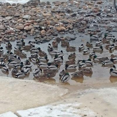 Kuvassa sorsajoukko on kerääntynyt sulaan rantaveteen jään reunalla