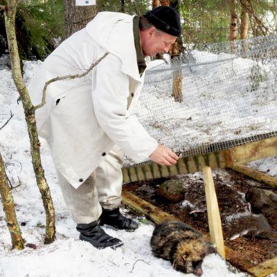 Kuvassa ammattimetsästäjä Juha Mäkimartti päästää loukkuun jääneen supikoiran ulos.