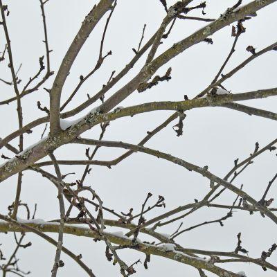 Kuvassa omenapuun oksa talvella