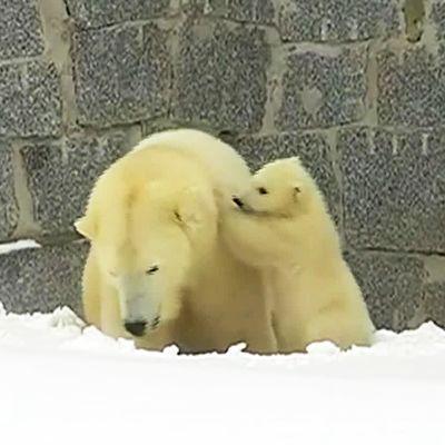 Uutisvideot: Ranuan jääkarhunpentu kömpi pesästään ensimmäistä kertaa ulos julkisuuteen – uusi pentu on isoveljeään rohkeampi
