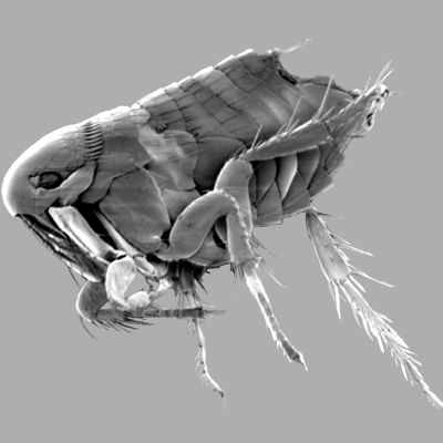 En hönsloppa fotograferad med svepelektronmikroskop