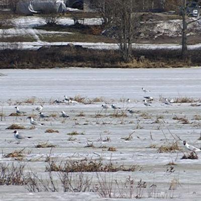 Rovaniemen naurulokkiyhdyskunta odottelee lumen sulamista Rovaniemen lintuparatiisissa Harjulammella.