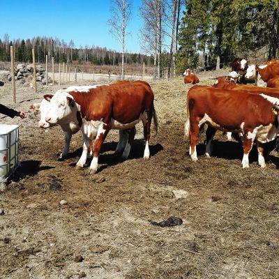 Lehmiä lantalassa.
