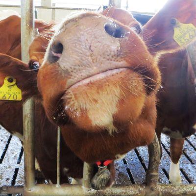 Lehmä katsoo kameraan.