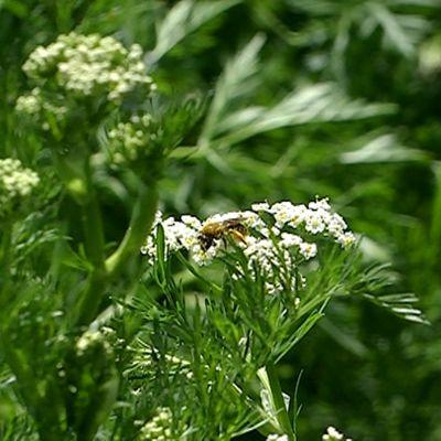 Hyönteinen kuminankukassa.