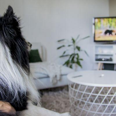 Pii-koira katsoo televisiota.