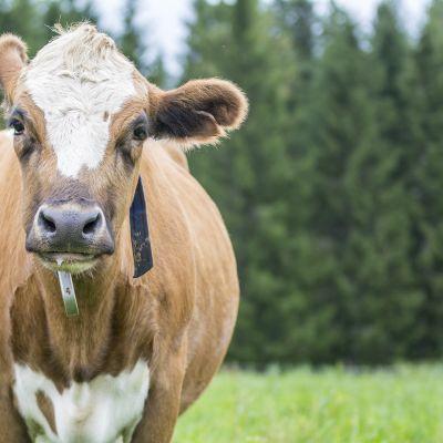 Itä-Suomen lehmä.