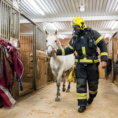 Palomies taluttaa hevosta.