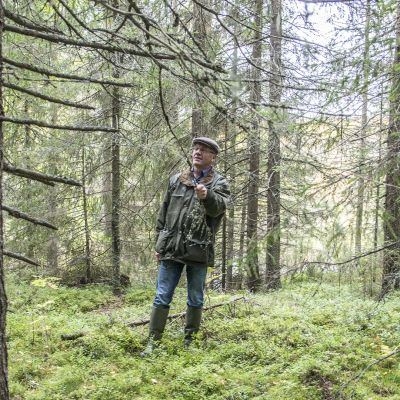 Mies katselee puiden kuntoa kuusimetsässä.