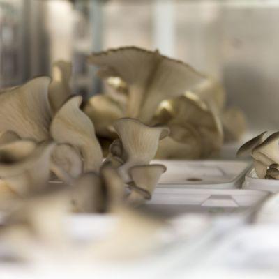 Kasvatettuja osterivinokkaita
