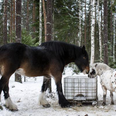 Suomen suurin hevonen Amanda ja poni syömässä