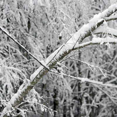 Luminen puu nojaa sähköjohtoon.