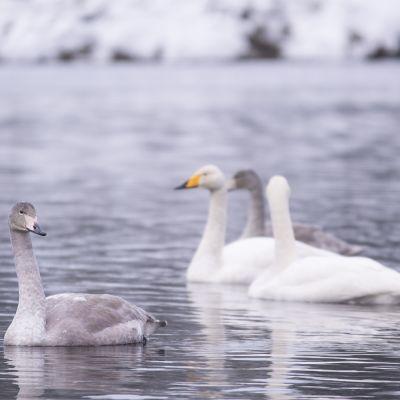 Joutsenia talvisella joella.