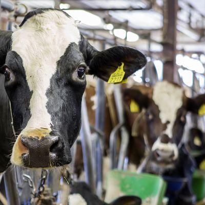 Lehmä navetassa.