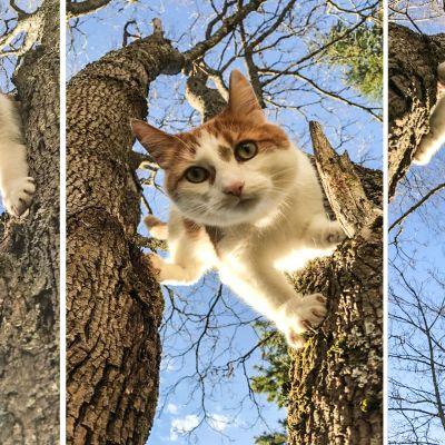 Kissa nimeltä Alamies kiipeilemässä puussa.