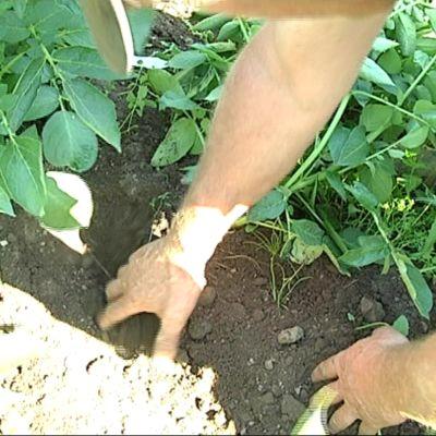 Maanviljelijä kuopii kuivaa perunamaata.
