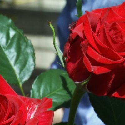 Punaisia ruusuja.