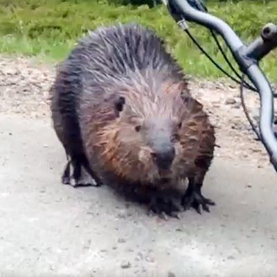 Vihainen majava hyökkäsi pyöräilijän kimppuun