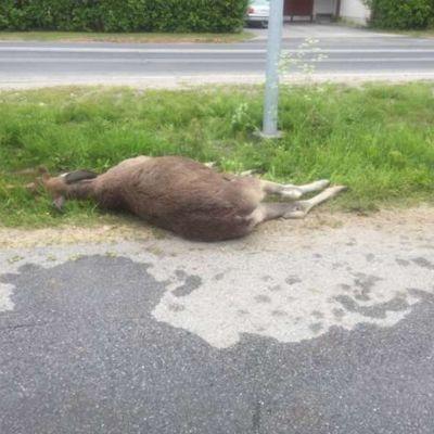 Hirvikolari Kajaani kuollut hirvi