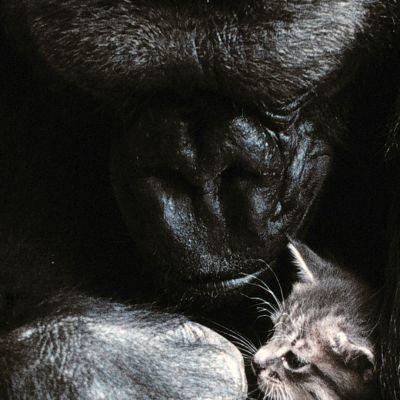 Koko-gorilla paijaa kissanpentua.