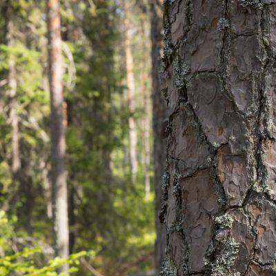 Puun kuori.