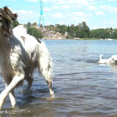 Koirasi kaipaa kylpemistä kesähelteellä
