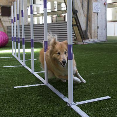 Koira pujottelee agility -radalla