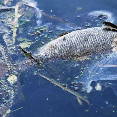 Kuollut kala vedessä.