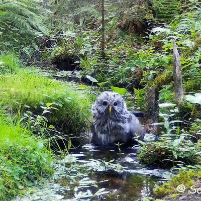 Viirupöllö kylpee purossa