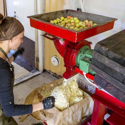 Mari Laine murskaa omenoita mehustusta varten.