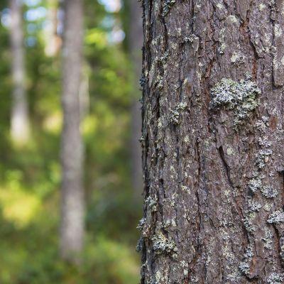 Mänty puu runko kaarna metsä