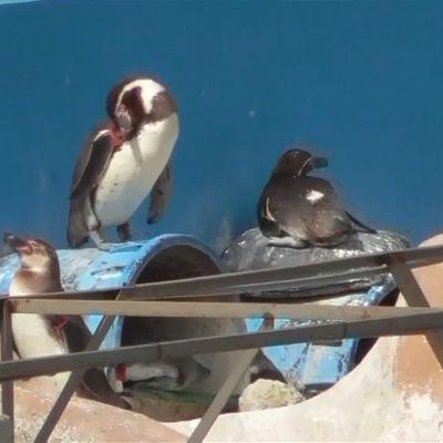 Eläinaktivistit vaativat delfiinin ja kymmenien pingviinien pelastamista alkuvuonna suljetusta akvaariosta Japanissa