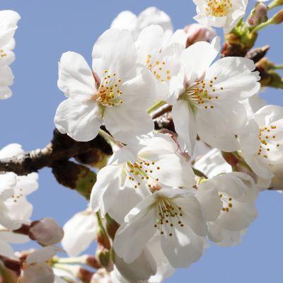 Kirsikankukka